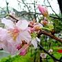 河津櫻 1040127_06 中和區公所前公園.JPG