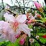 河津櫻 1040127_07 中和區公所前公園.JPG