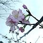 河津櫻 1040127_08 中和區公所前公園.JPG
