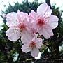 河津櫻 1040127_10 中和區公所前公園.JPG