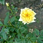玫瑰 1030716_1 .jpg