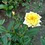 玫瑰(Julia Child) 1030716_2 .jpg
