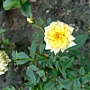 玫瑰(Julia Child) 1030716_3 .jpg