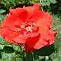 玫瑰 1030808-1 中和光華街.jpg