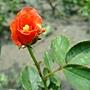 玫瑰 1030808-3 中和光華街.jpg