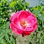玫瑰 1030808-6 中和光華街.jpg