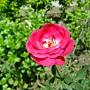 玫瑰 1030808-7 中和光華街.jpg