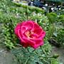 玫瑰 1030808-8 中和光華街.jpg