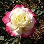 玫瑰085.JPG