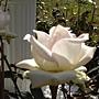 玫瑰-白075.JPG