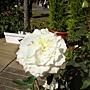 玫瑰-白080.JPG