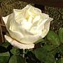 玫瑰-白082.JPG