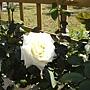 玫瑰-白083.JPG