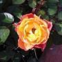 玫瑰-艾玲卡073.JPG