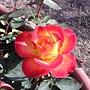 玫瑰-艾玲卡117.JPG