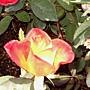 玫瑰-艾玲卡119.JPG