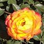 玫瑰-艾玲卡120.JPG