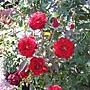 玫瑰-紅069.JPG