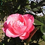 玫瑰-紅084.JPG