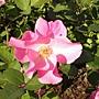 玫瑰-紅092.JPG