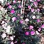 玫瑰-紅104.JPG