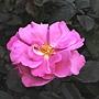 玫瑰-紅111.JPG