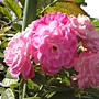 玫瑰-紅112.JPG