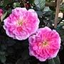 玫瑰-紅122.JPG