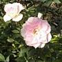 玫瑰-粉紅100.JPG