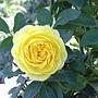 玫瑰-黃068.JPG
