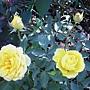 玫瑰-黃072.JPG