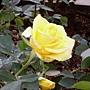 玫瑰-黃091.JPG
