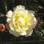 玫瑰-黃094.JPG