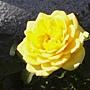 玫瑰-黃109.JPG