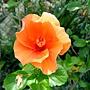 朱槿(橘色魅影 or黃金) 1030722_1 青年公園.jpg