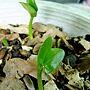 1030730_1 雞蛋花種子發芽.jpg
