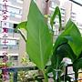 蓮蕉的葉子1000616.jpg