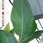 蓮蕉的葉子1000704.jpg