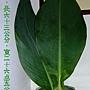 蓮蕉的葉子1000721.jpg