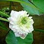 牡丹蓮 1031001_2 中和國小.jpg