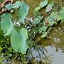 牡丹蓮 1031001_5 中和國小.jpg