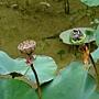牡丹蓮 1031001_6 中和國小.jpg