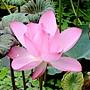 荷花 1030623_2 植物園.jpg