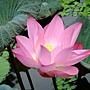 荷花 1030623_3 植物園.jpg