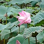 荷花 1030623_4 植物園.jpg