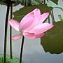 荷花 1030623_5 植物園.jpg