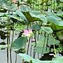 荷花 1030623_6 植物園.jpg