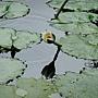 睡蓮 1030623_2 植物園.jpg