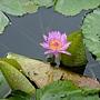 睡蓮 1030623_4 植物園.jpg