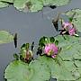 菩提蓮 1030623 植物園.jpg